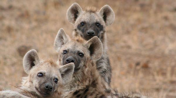 Hyena's - stck.xchng