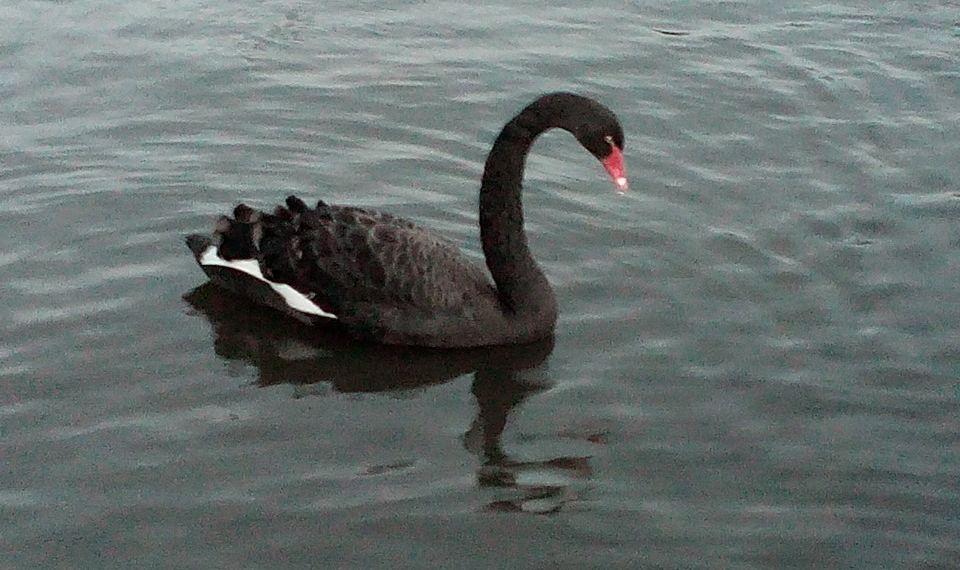 Zwarte zwaan van Brugge (Foto Facebook)