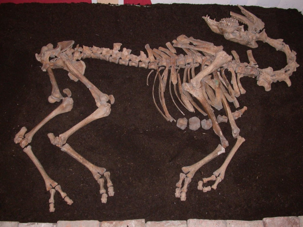 Het skelet van de strijdkameel (Alfred Galik - Vetmeduni Vienn)