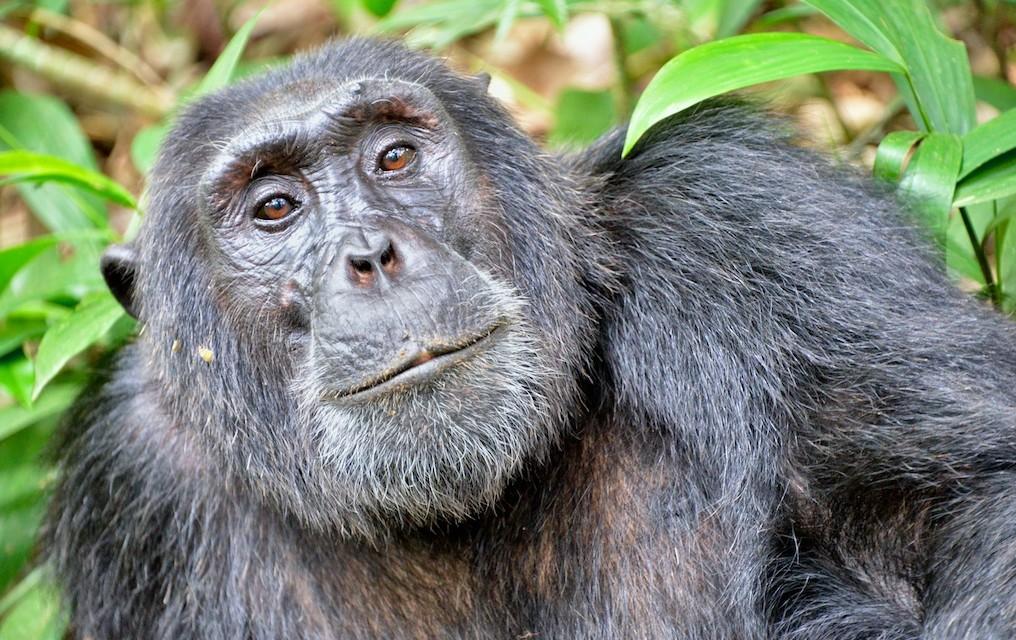 Chimpansee (Rod Waddington - cc)