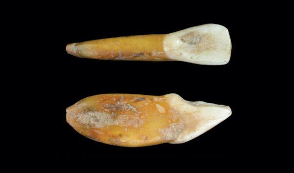 De neanderthaler-tand