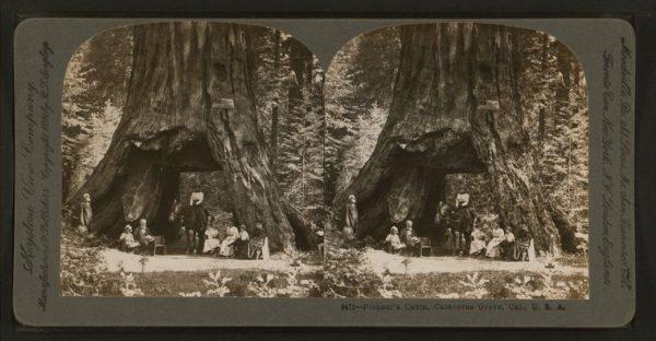 Storm velt iconische 'Pioneer Cabin Tree'