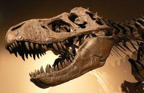 Tyrannosaurus Rex had een neusje voor voedsel