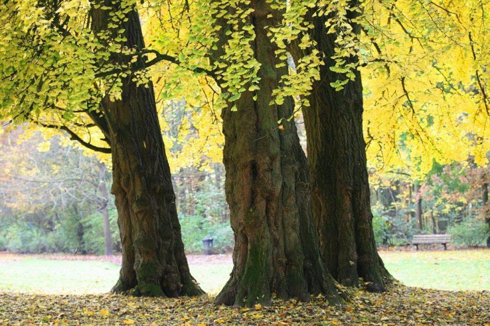 Ginkgo biloba in een park in België (CC BY 3.0 - wiki - Jean-Pol GRANDMONT)
