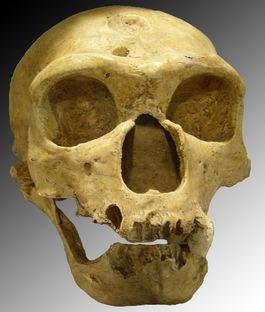 Schedel van de homo neanderthalis