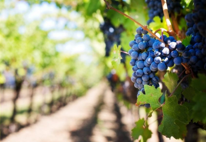 Foto van een willekeurige wijngaard (CC0 - Pixabay - jill111)