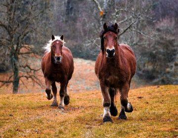 Paarden (cc - Pixabay - 3938030)
