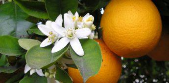 Sinaasappel, China's appel