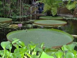 Victoria amazonica in de Victoriakas van de Hortus Botanicus van Leiden - Foto: CC