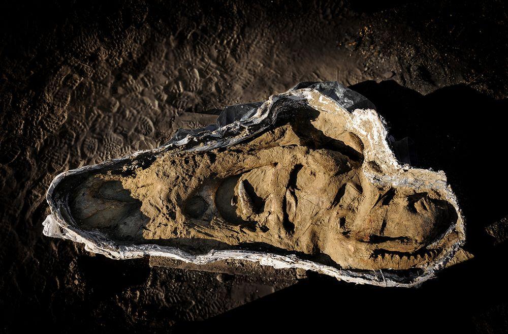 De schedel van de tyrannosaurus rex die door Naturalis gevonden is - Servaas Neijens, Naturalis