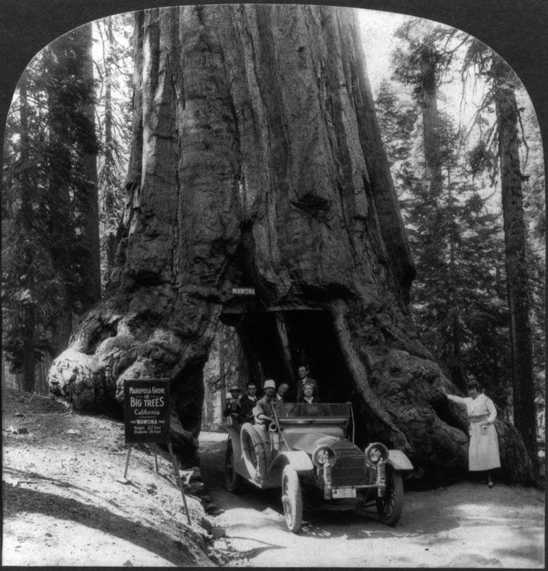 Wawona Tree, Yosemite National Park (1939)