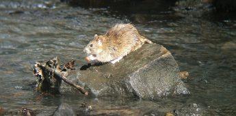 Een papje met rattengif
