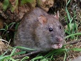 Wilde rat - Foto: CC
