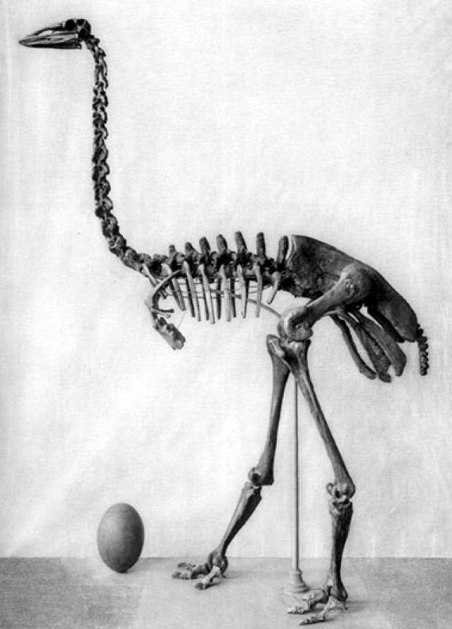 Olifantsvogel met ei, 1913