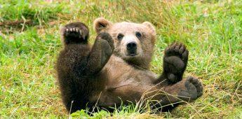 Ongelikte beer