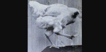 Miracle Mike: de kip zonder kop