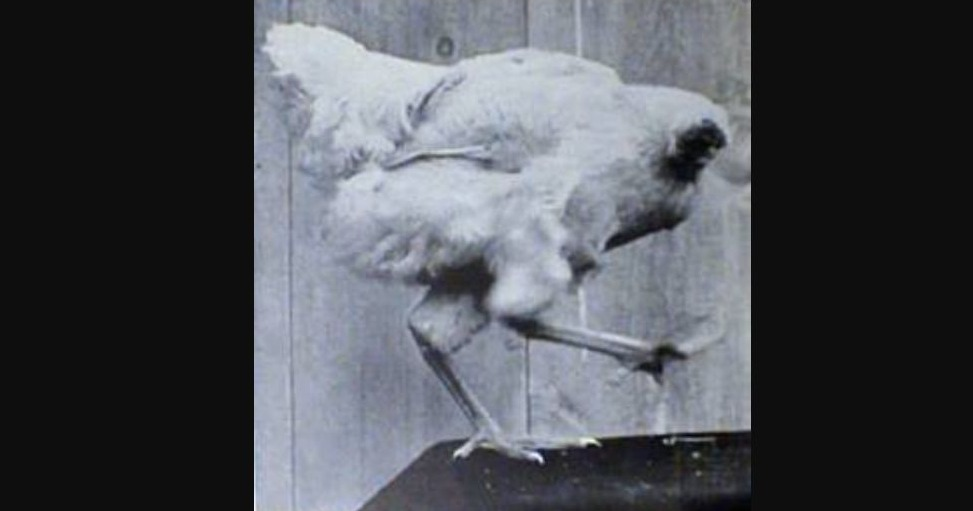 Miracle Mike - The Headless Chicken