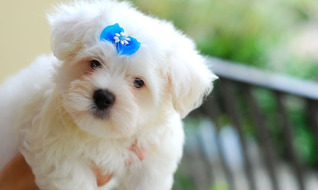 Malteser puppy - cc