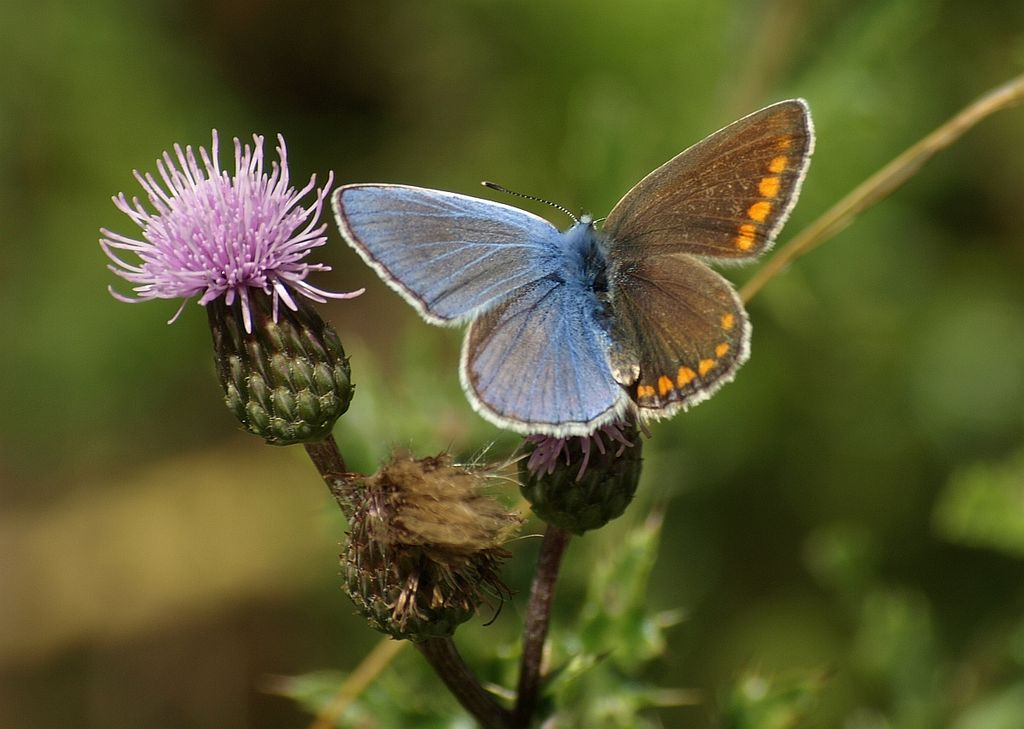 Icarusblauwtje, vlinder - cc