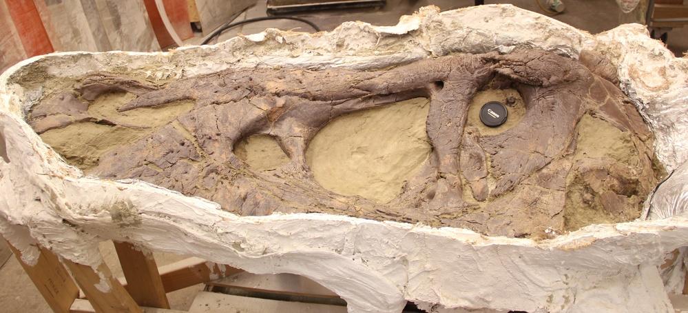 De schedel van de Tyrannosaurus rex (Naturalis)
