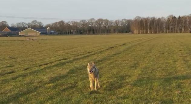 De 'Nederlandse' wolf - Still YouTube