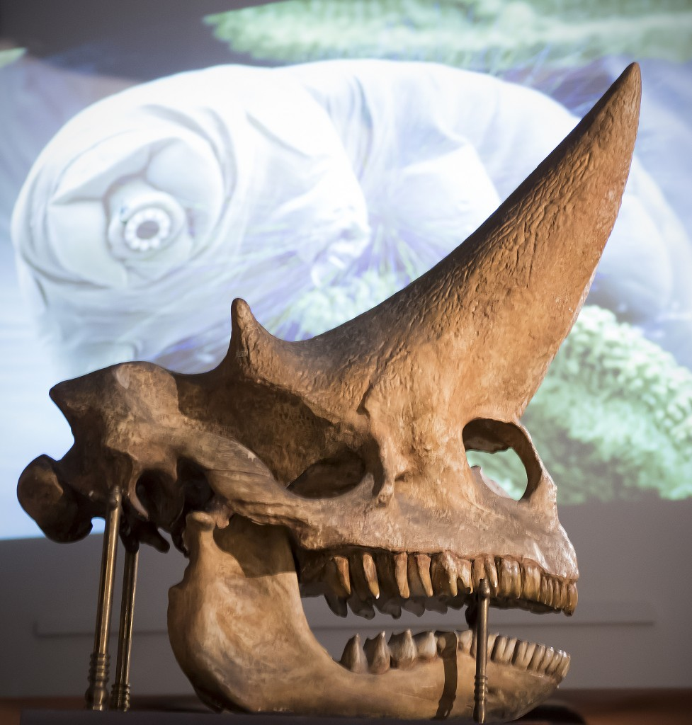Het tweehoornige monster van Faiyum, Arsinotherium zitteli Beadnell, Teylers Museum