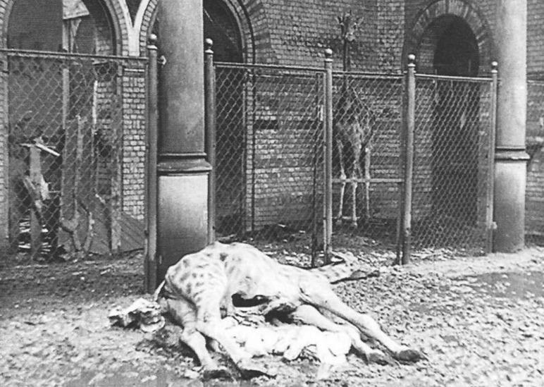 Het merendeel van de dieren in de Berlijnse zoo sneuvelde als gevolg van het oorlogsgeweld. (WW2inColor)