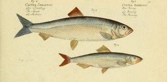 Nederlandse haringvisserij was eeuwen superieur