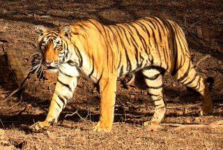 Bengaalse tijger - cc