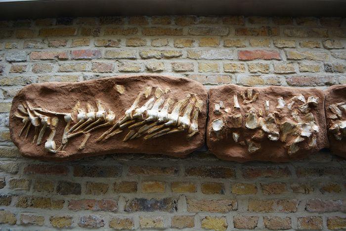 Deel van het skelet van de mosasaurus (catawiki)