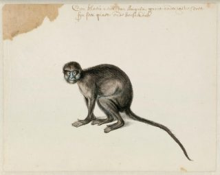 Blauwlipmeerkat, Frans Post (1612–1680), ca. 1638-1644. Noord-Hollands Archief, Haarlem