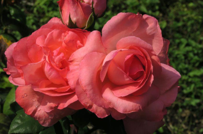 Citaten Over Rozen : Op rozen zitten herkomst van het gezegde