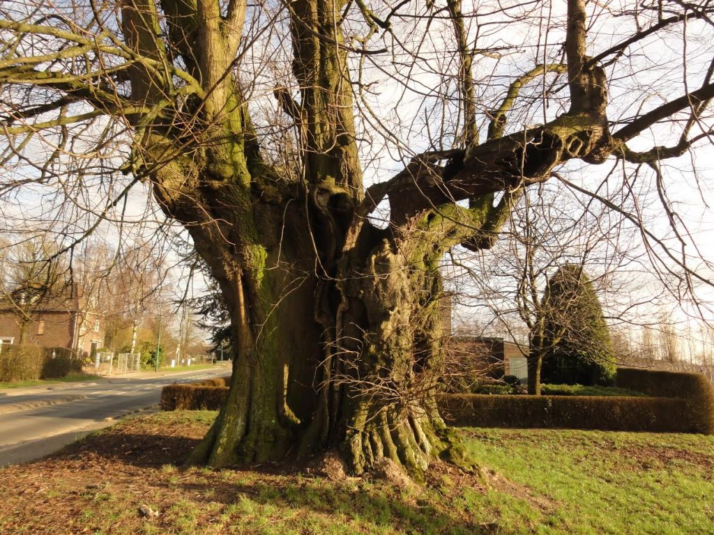 De koningslinde van Sambeek (Noord-Brabant) is tussen de 350 en 500 jaar oud en daarmee een van de oudste bomen van Nederland.