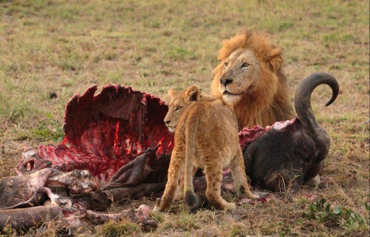 Leeuwen met hun prooi: het leeuwendeel - cc