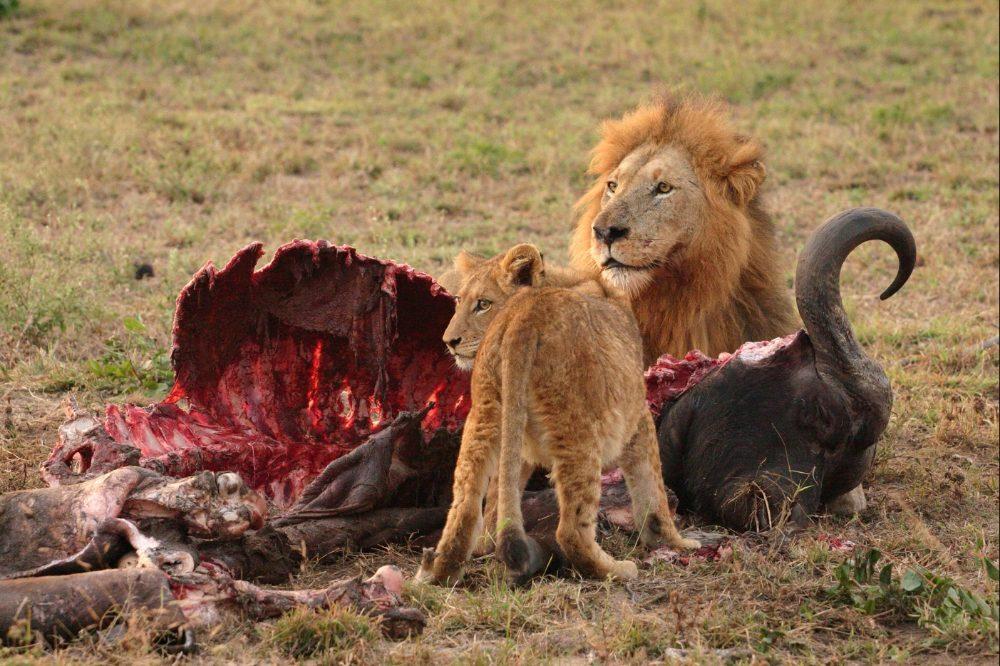 Leeuwen met hun prooi: het leeuwendeel (CC BY-SA 2.5 - Luca Galuzzi - wiki)