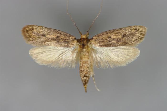 Bruine huismot - cc
