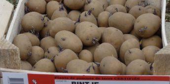 Bintjes, vernoemd naar een ijverig schoolmeisje uit Friesland