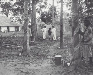 Rubberbomen te Deli (Tropenmuseum/ Wikimedia Commons)