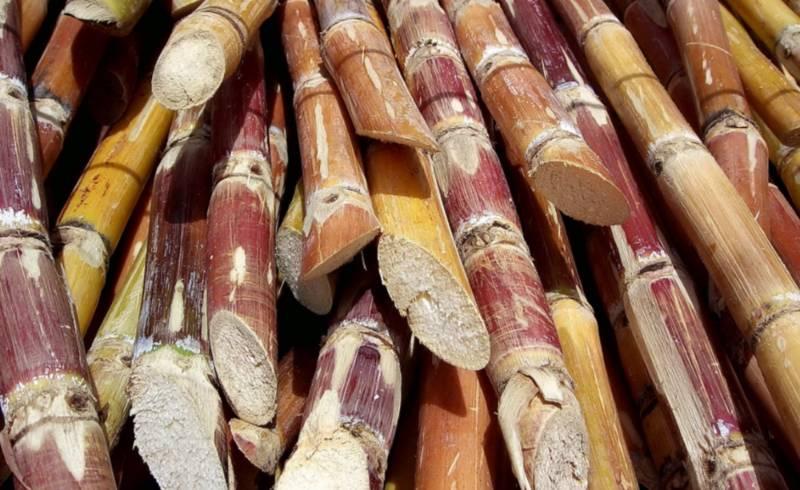 Gesneden suikerrietstengels - cc