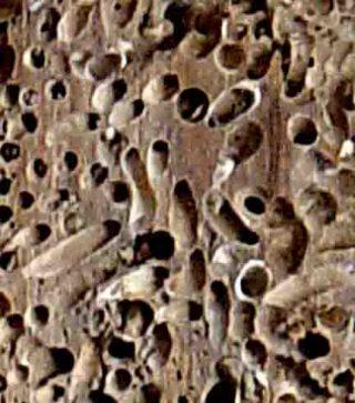 Hout met paalwormgangen (wiki)