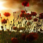 """De klaproos """"Poppy"""", symbool van de Eerste Wereldoorlog"""