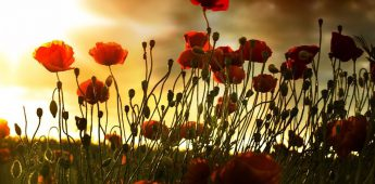 De klaproos of 'poppy', symbool van de Eerste Wereldoorlog
