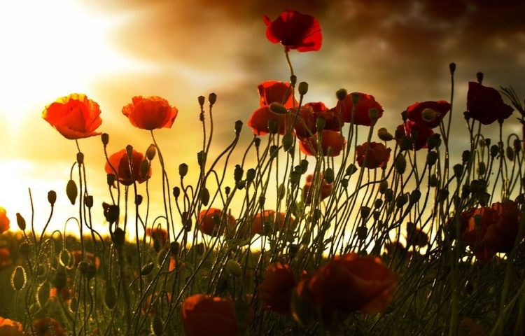 """De klaproos """"Poppy"""", symbool van de Eerste Wereldoorlog (cc - pixabau - wiol5)"""