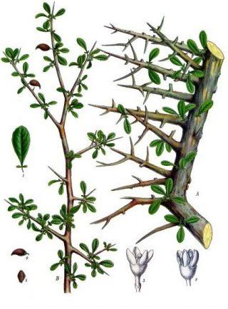 Mirre (Commiphora myrrha) - wiki
