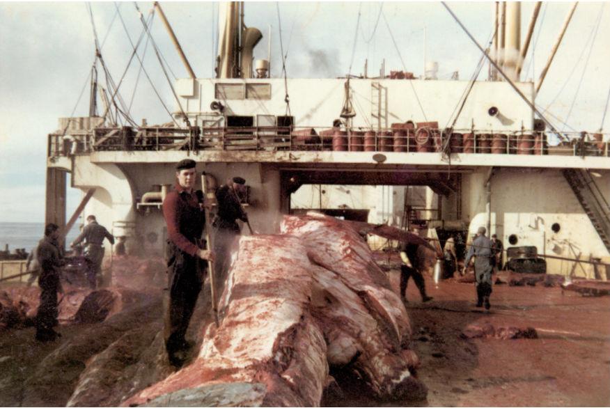 De resten van de walvis werden op het vleesdek tot kleine hompen vlees verwerkt. (Afbeeldingen: boek / AUP)