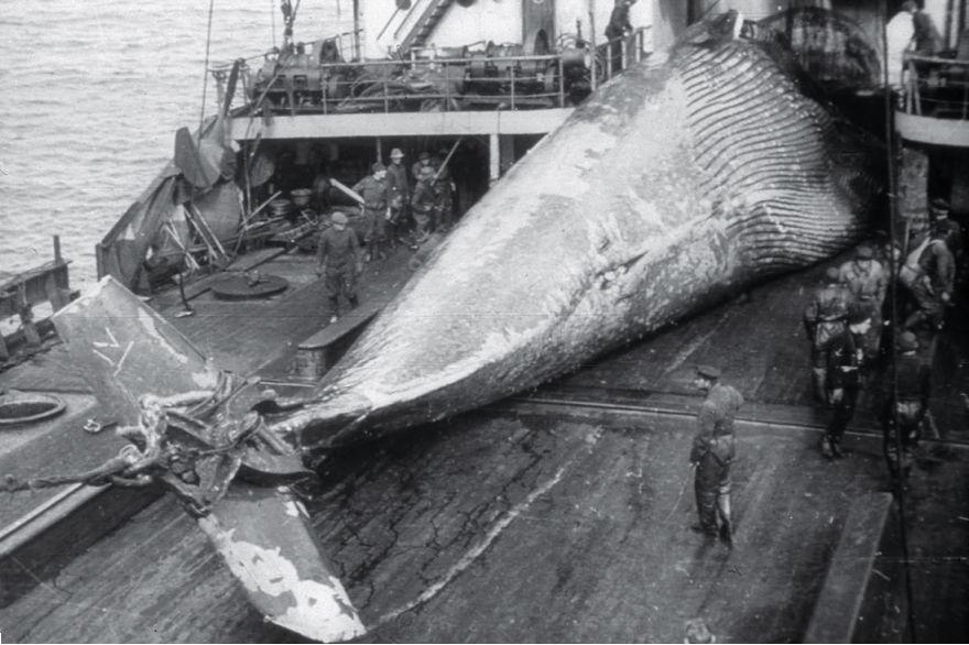 Met een mechaniek, bevestigt aan de staart van de walvis, wordt het dier op het schip getrokken