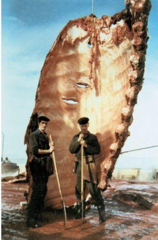 De walvisvaarders slepen de speklagen van de walvissen naar de traanpotten.