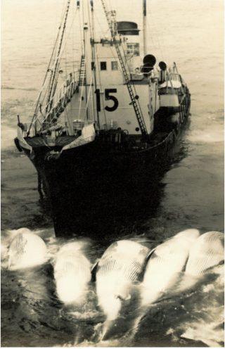 Een van de jagers brengt de gedode walvissen naar het moederschip.