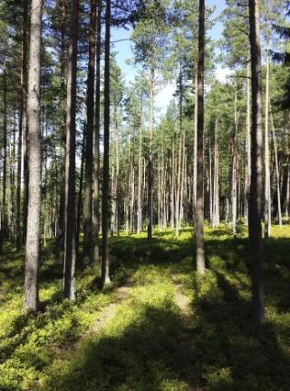 Bosje met grove dennen (CC BY-SA 4.0 - Stefan Lefnaer - wiki)