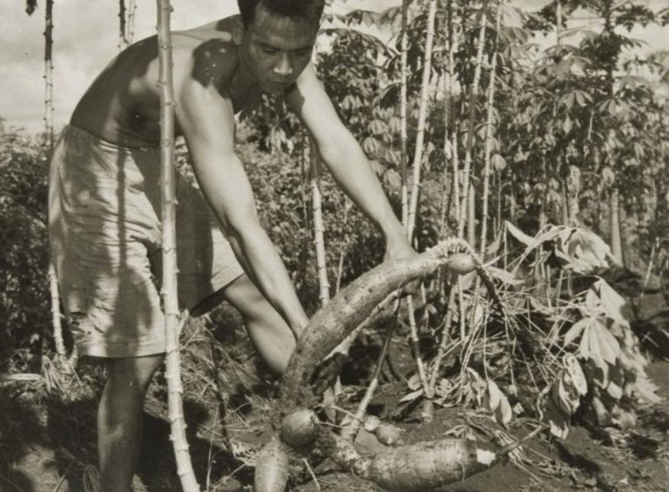 Het oogsten van ketalla ( (Wikimedia Commons /Tropenmuseum, deel van het National Museum of World Cultures)
